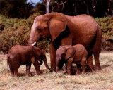Elefanter Posters