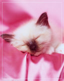 Kitten Sleeping Posters
