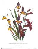 Sphoerospora Imbricata Prints by Jane W. Loudon