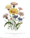 Centaurea Crocadylium Prints by Jane W. Loudon