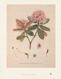 Aeruginosum Prints by Joseph Dalton Hooker