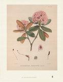Aeruginosum Prints by Joseph Dalton Hooker