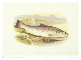 Great Lake Trout Prints