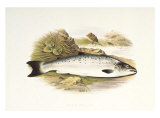 Grilse or Young Salmon Print
