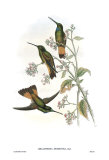 Helianthea Dichroura, Hummingbirds Poster by John Gould