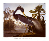 Louisiana Heron Prints by John James Audubon
