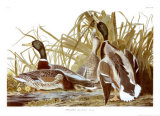 Mallard Duck Art by John James Audubon