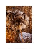 Un loup au repos Posters par Carl Brenders