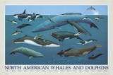 North American Whales and Dolphins Kunstdrucke