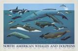 Balene e delfini nord del Nord America Stampe