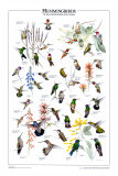 Hummingbirds of US & Canada Prints