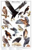 Oiseaux de proie I Affiches