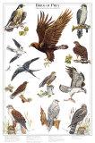 Oiseaux de proie II Affiches