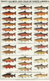 Trout, Salmon & Char of North America I Poster
