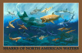 Sharks of North American Waters Wall Poster