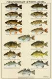 Freshwater Bass of North America Kunstdrucke