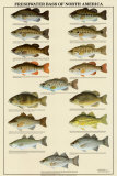 Freshwater Bass of North America Prints