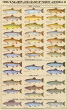 Trout, Salmon & Char of North America II Print