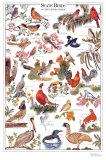 State Birds of the United States Póster