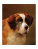 Head of a St. Bernard Posters by P. Magee