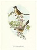 Rhopophilus Pekinensis Prints by John Gould