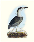 Night Heron Poster by S Selby