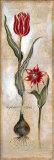 Tulipa Violoncello IV Prints by  Augustine (Joseph Grassia)