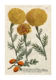 Marigold Magic I Premium Giclee Print by Johann Wilhelm Weinmann