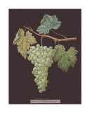 White Grapes Giclee Print by George Brookshaw