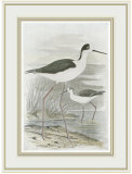 WINGED STILT Láminas