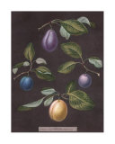 Plums Print by George Brookshaw