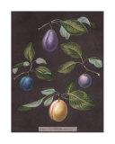 Plums Giclee Print by George Brookshaw