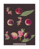 Peaches Print by George Brookshaw