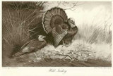 Wild Turkey Prints by Archibald Thorburn
