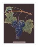 Purple Grapes Giclee Print by George Brookshaw