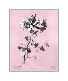 Dussurgey Amaryllis on Pink Giclee Print by  Dussurgey