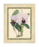 Fitch Orchid IV Giclee Print by J. Nugent Fitch