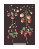 Strawberries Giclee Print by George Brookshaw