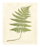Soft Prickley Shield Fern Giclee Print