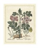 Besler Floral V Giclee Print by Besler Basilius