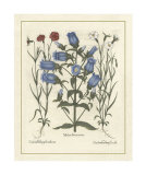 Besler Floral IV Giclee Print by Basilius Besler