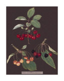 Cherries Giclee Print by George Brookshaw