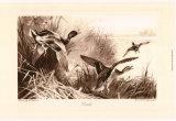 Ducks Prints by Archibald Thorburn
