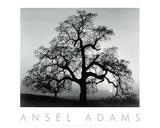 Ansel Adams - Oak Tree, Sunset City, California Umělecké plakáty
