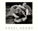 Rose et bois flotté, San Francisco, Californie Affiches par Ansel Adams