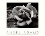 Rose mit Treibholz, San Francisco, Kalifornien Kunst von Ansel Adams