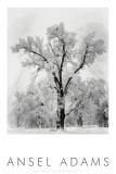 Eiketre, snøstorm, Yosemite nasjonalpark, 1948|Oak Tree, Snowstorm, Yosemite National Park, 1948 Posters av Ansel Adams