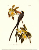 Fork-Tailed Flycatcher Art by John James Audubon