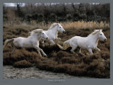 Equus, Camargue, France Prints by Hans W. Sylvester