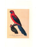 Barraband Parrot No. 78 Posters by Jacques Barraband